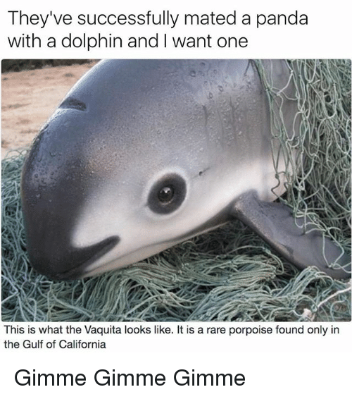 Dolphinately: They've successfully mated a panda  with a dolphin and want one  This is what the Vaquita looks like. It is a rare porpoise found only in  the Gulf of California Gimme Gimme Gimme