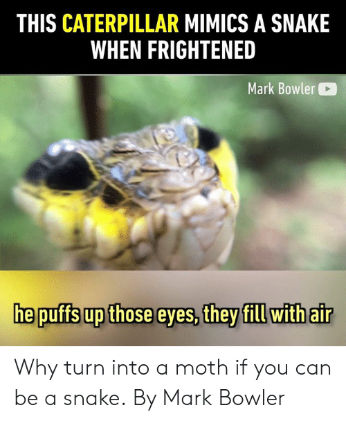 Frightened: THIS CATERPILLAR MIMICS A SNAKE  WHEN FRIGHTENED  Mark Bowler  he puffs up those eyes, they fill withair Why turn into a moth if you can be a snake.  By Mark Bowler