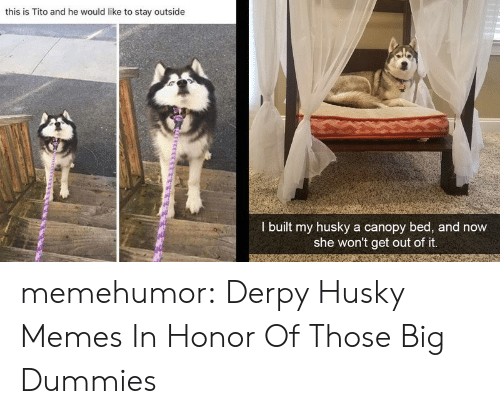 honor: this is Tito and he would like to stay outside  I built my husky a canopy bed, and now  she won't get out of it. memehumor:  Derpy Husky Memes In Honor Of Those Big Dummies