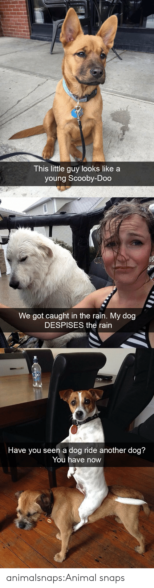Scooby Doo, Target, and Tumblr: This little guy looks like a  young Scooby-Doo   We got caught in the rain. My dog  DESPISES the rain   n a dog ride an  Have you see otner dog?  You have now animalsnaps:Animal snaps
