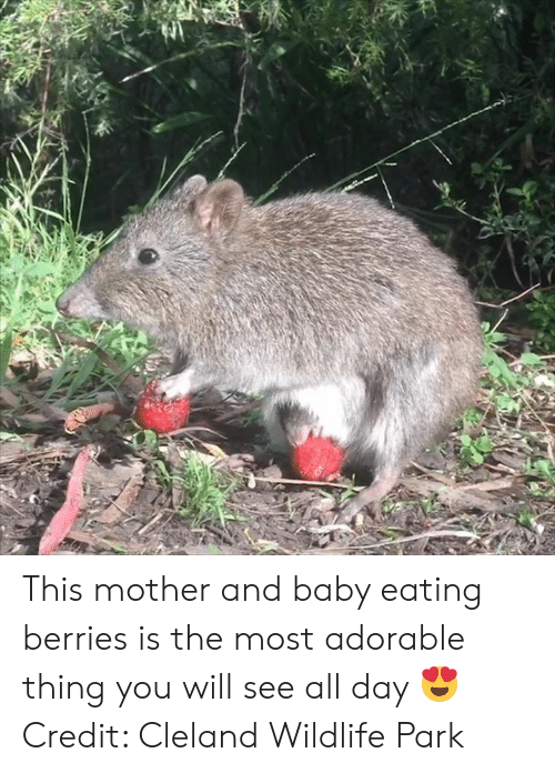 Adorable, Baby, and Mother: This mother and baby eating berries is the most adorable thing you will see all day 😍  Credit: Cleland Wildlife Park