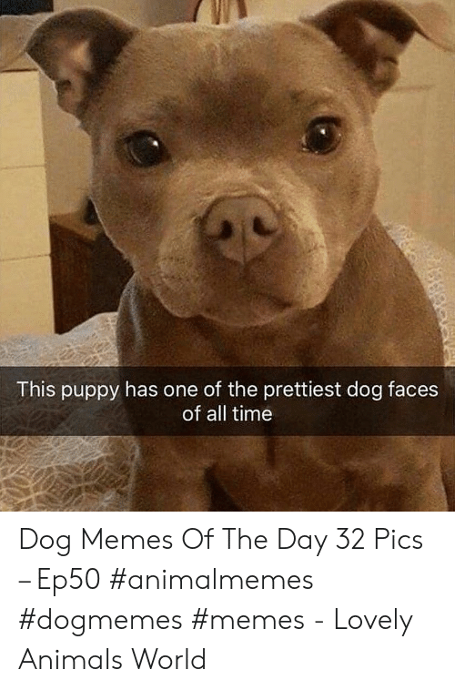 Animals, Memes, and Puppy: This puppy has one of the prettiest dog faces  of all time Dog Memes Of The Day 32 Pics – Ep50 #animalmemes #dogmemes #memes - Lovely Animals World