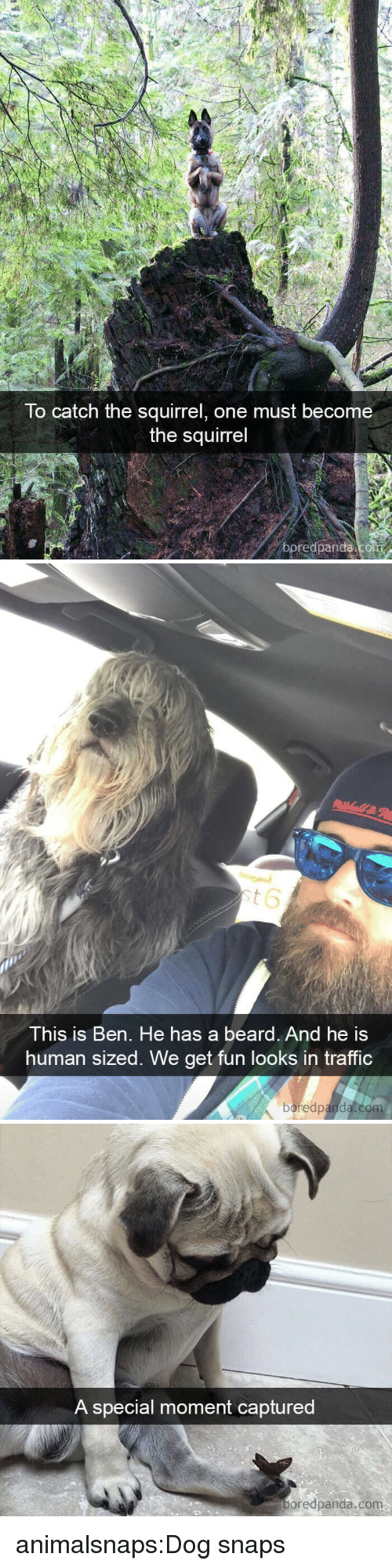 A Beard: To catch the squirrel, one must become  the squirrel  boredpanda   This is Ben. He has a beard. And he is  human sized. We get fun looks in traffic  boredpanda.co   A special moment captured  oredpanda.com animalsnaps:Dog snaps