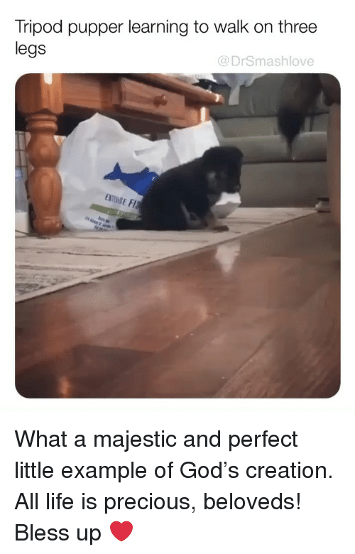 Bless Up, God, and Life: Tripod pupper learning to walk on three  legs  @DrSmashlove What a majestic and perfect little example of God's creation. All life is precious, beloveds! Bless up ❤️