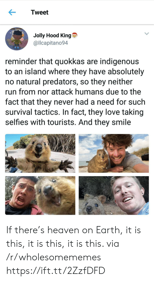 Heaven, Love, and Run: Tweet  Jolly Hood King  @llcapitano94  reminder that quokkas are indigenous  to an island where they have absolutely  no natural predators, so they neither  run from nor attack humans due to the  fact that they never had a need for such  survival tactics. In fact, they love taking  selfies with tourists. And they smile If there's heaven on Earth, it is this, it is this, it is this. via /r/wholesomememes https://ift.tt/2ZzfDFD