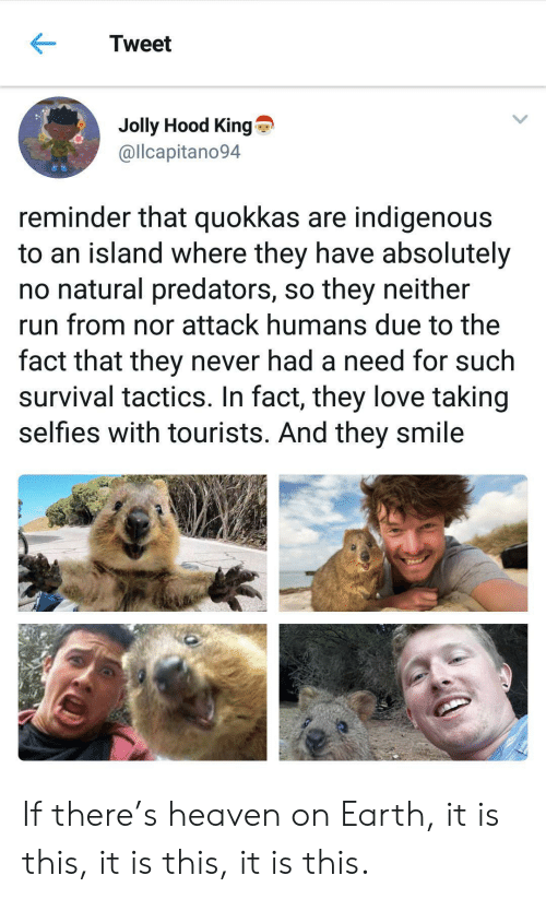 Heaven, Love, and Run: Tweet  Jolly Hood King  @llcapitano94  reminder that quokkas are indigenous  to an island where they have absolutely  no natural predators, so they neither  run from nor attack humans due to the  fact that they never had a need for such  survival tactics. In fact, they love taking  selfies with tourists. And they smile If there's heaven on Earth, it is this, it is this, it is this.