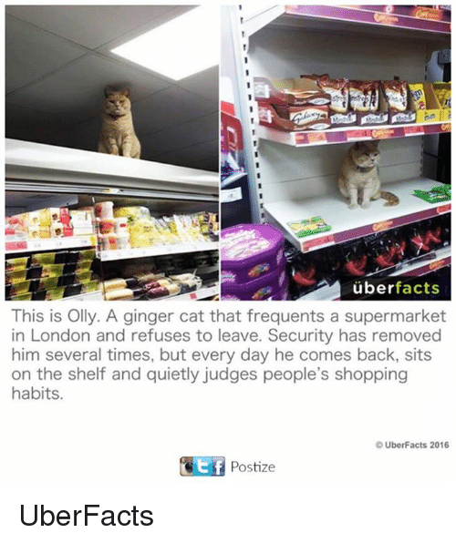 gingerly: uber facts  This is Olly. A ginger cat that frequents a supermarket  in London and refuses to leave. Security has removed  him several times, but every day he comes back, sits  on the shelf and quietly judges people's shopping  habits.  UberFacts 2016  GEf Postize UberFacts
