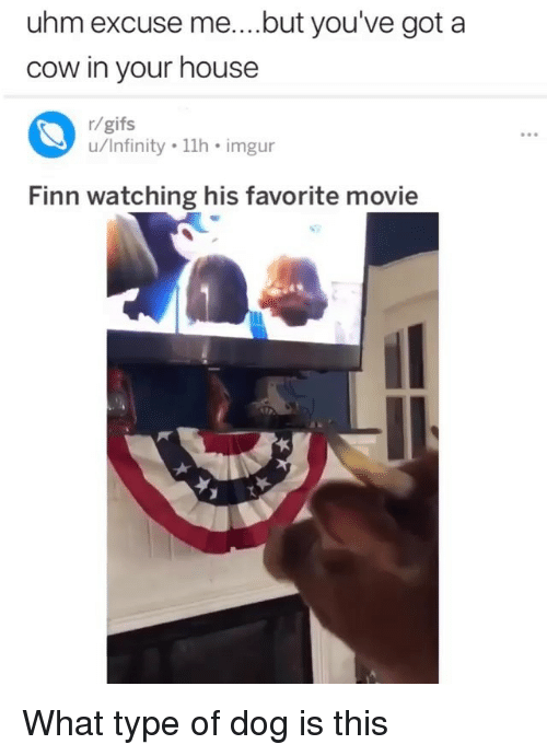 Finn: uhm excuse me....but you've got a  cow in your house  r/gifs  u/Infinity 11h imgur  Finn watching his favorite movie What type of dog is this