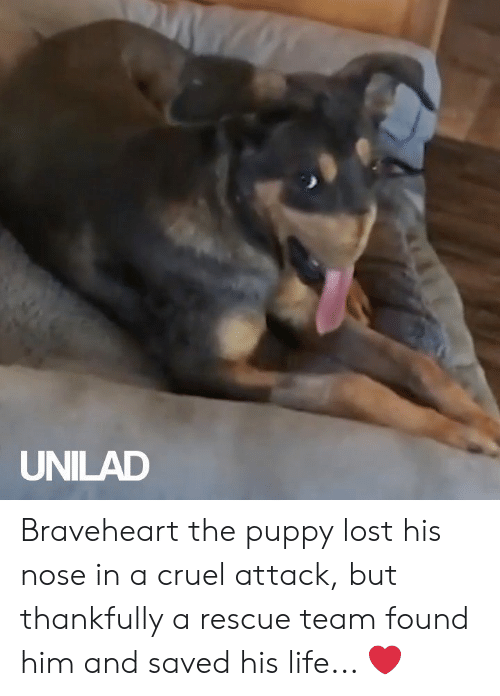 Dank, Life, and Lost: UNILAD Braveheart the puppy lost his nose in a cruel attack, but thankfully a rescue team found him and saved his life... ❤️