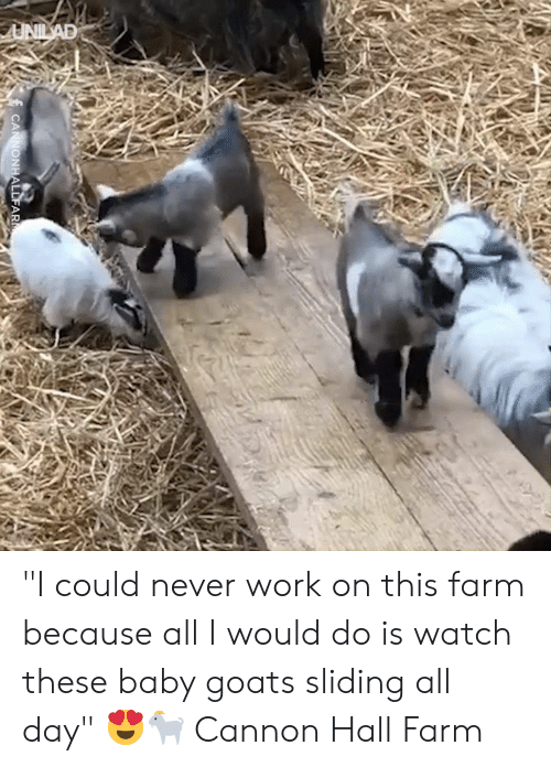 """Dank, Work, and Watch: UNILAD  CANNONHALLFAR """"I could never work on this farm because all I would do is watch these baby goats sliding all day"""" 😍🐐  Cannon Hall Farm"""