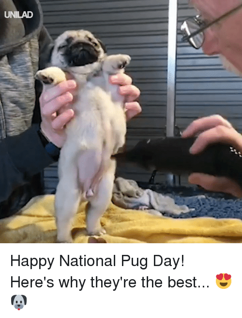 Dank, Best, and Happy: UNILAD Happy National Pug Day! Here's why they're the best... 😍🐶