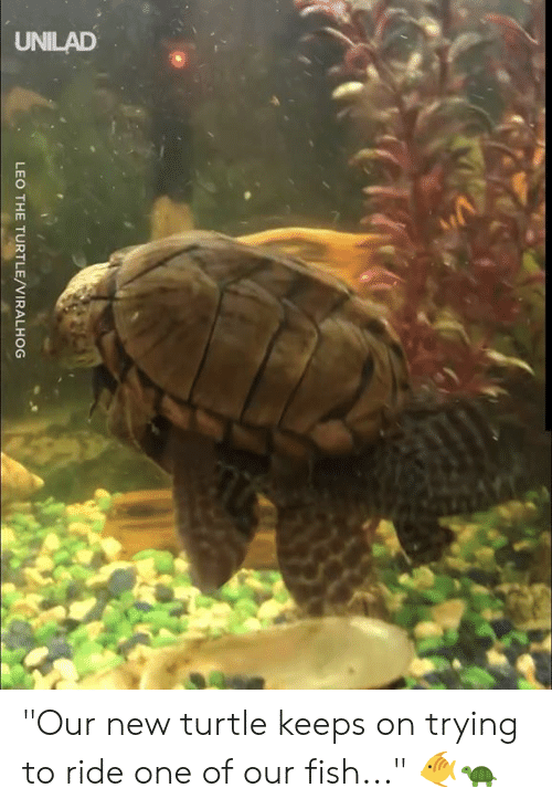 """leo: UNILAD  LEO THE TURTLE/VIRALHOG """"Our new turtle keeps on trying to ride one of our fish..."""" 🐠🐢"""
