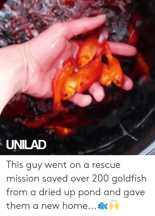Dank, Goldfish, and Home: UNILAD This guy went on a rescue mission saved over 200 goldfish from a dried up pond and gave them a new home...🐟🙌