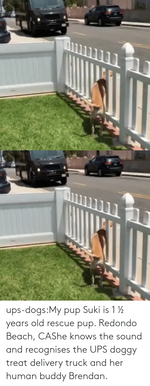 treat: ups-dogs:My pup Suki is 1 ½ years old rescue pup. Redondo Beach, CAShe knows the sound and recognises the UPS doggy treat delivery truck and her human buddy Brendan.
