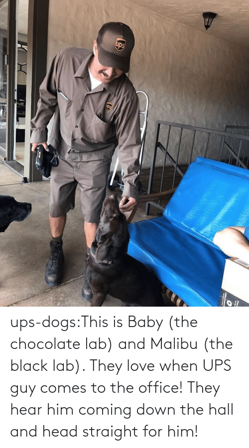 hear: ups-dogs:This is Baby (the chocolate lab) and Malibu (the black lab). They love when UPS guy comes to the office! They hear him coming down the hall and head straight for him!
