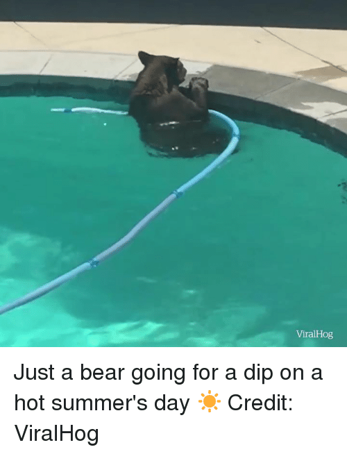 Bear, Day, and Hot: ViralHog Just a bear going for a dip on a hot summer's day ☀️  Credit: ViralHog