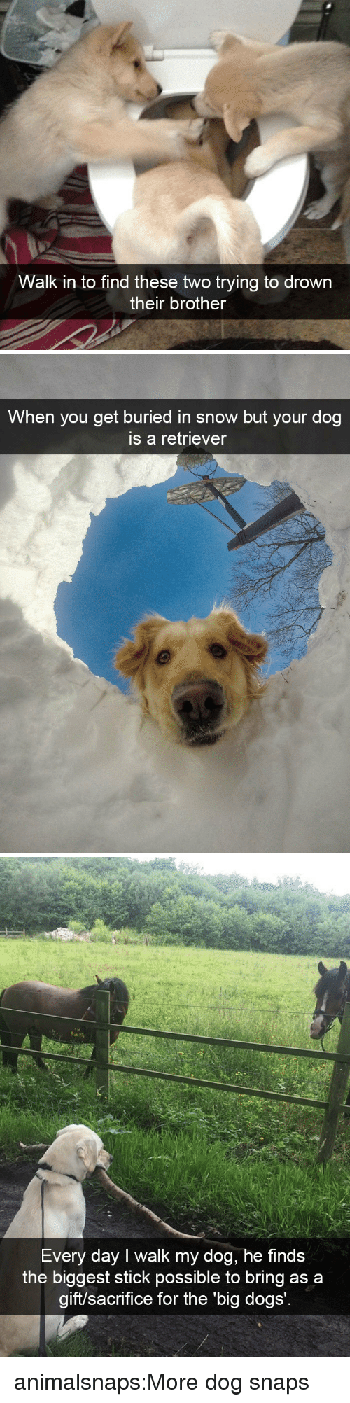 Dogs, Target, and Tumblr: Walk in to find these two trying to drown  their brother   When you get buried in snow but your dog  is a retriever   Every day I walk my dog, he finds  the biggest stick possible to bring as a  aift/sac  rifice for the 'big dogs animalsnaps:More dog snaps