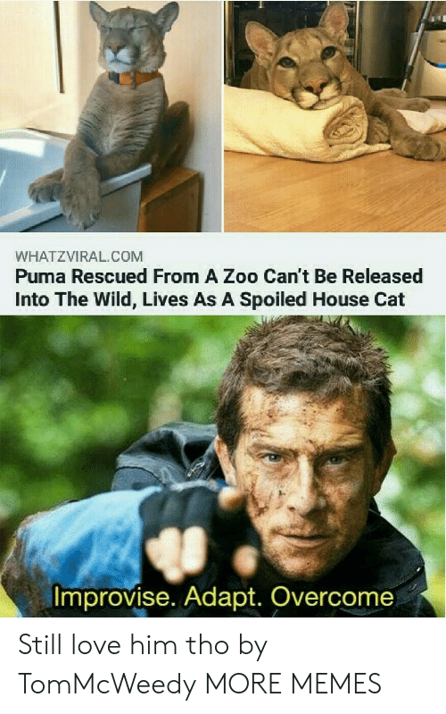 still love: WHATZVIRAL.COM  Puma Rescued From A Zoo Can't Be Released  Into The Wild, Lives As A Spoiled House Cat  Improvise. Adapt. Overcome Still love him tho by TomMcWeedy MORE MEMES