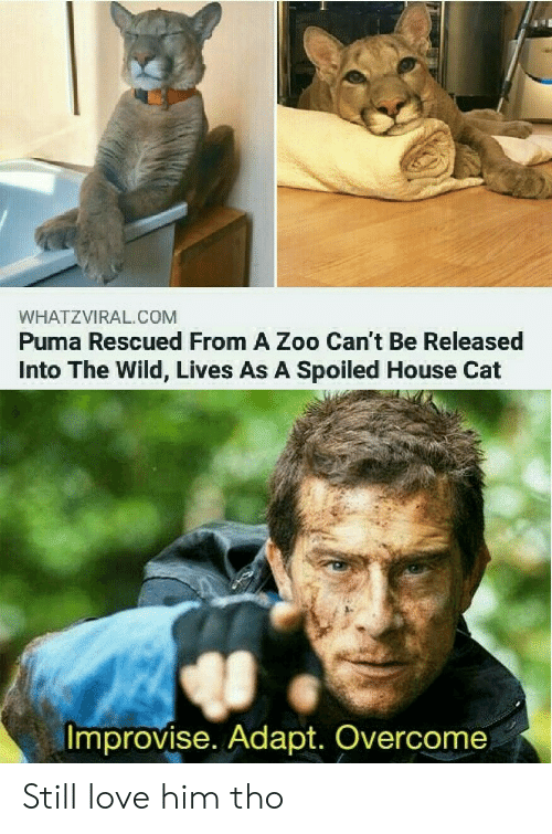 still love: WHATZVIRAL.COM  Puma Rescued From A Zoo Can't Be Released  Into The Wild, Lives As A Spoiled House Cat  Improvise. Adapt. Overcome Still love him tho