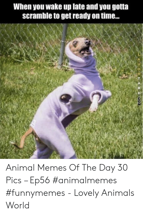Animals, Memes, and Animal: When you wake up late and you gotta  scramble to get ready on time..  GHTARDCO Animal Memes Of The Day 30 Pics – Ep56 #animalmemes #funnymemes - Lovely Animals World