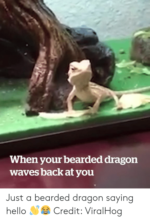 Bearded: When your bearded dragon  waves back at you Just a bearded dragon saying hello 👋😂  Credit: ViralHog