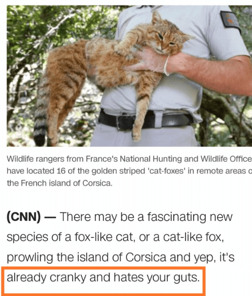 Rangers: Wildlife rangers from France's National Hunting and Wildlife Office  have located 16 of the golden striped 'cat-foxes' in remote areas o  the French island of Corsica.  (CNN) There may be a fascinating new  species of a fox-like cat, or a cat-like fox,  prowling the island of Corsica and yep, it's  already cranky and hates your guts.