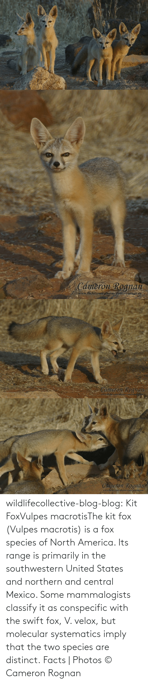 united states: wildlifecollective-blog-blog:  Kit FoxVulpes macrotisThe kit fox (Vulpes macrotis) is a fox species of North America. Its range is primarily in the southwestern United States and northern and central Mexico. Some mammalogists classify it as conspecific with the swift fox, V. velox, but molecular systematics imply that the two species are distinct. Facts | Photos © Cameron Rognan