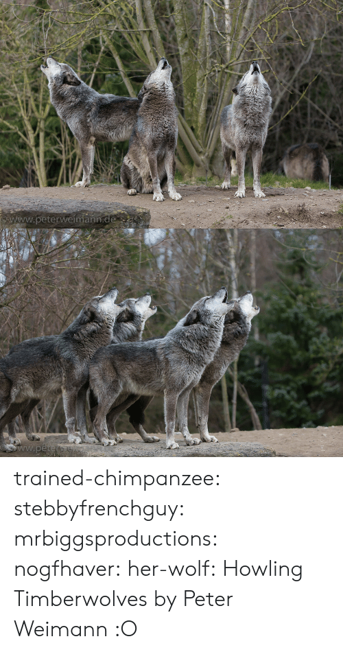 Fake, True, and Tumblr: www.peterweímann trained-chimpanzee: stebbyfrenchguy:  mrbiggsproductions:  nogfhaver:  her-wolf:  Howling Timberwolves by  Peter Weimann            :O