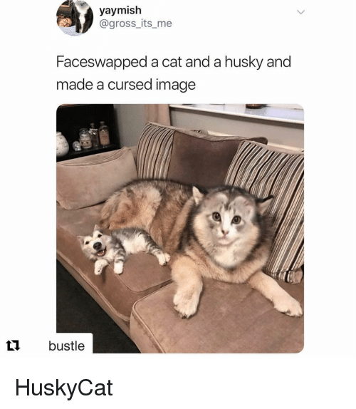 Husky, Image, and Cat: yaymish  @gross_its_me  Faceswapped a cat and a husky and  made a cursed image  t1 bustle HuskyCat